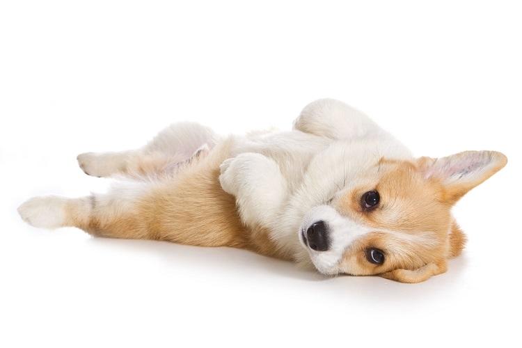 柴犬とコーギーのミックス犬