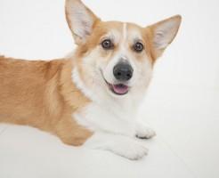 コーギー犬にやったトイレトレーニング、」ハウス、吠え癖(無駄吠え)のしつけ方