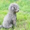 【体験談】獣医学部のしつけ教室で習った子犬のトイプードルの待て、座れのしつけ方