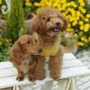 【体験談】子犬のミックス犬(雑種)にトイレトレーニングを始めて効果があったしつけ方