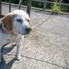 【体験談】室内犬として育てる子犬のビーグル犬に無駄吠え対策とお座りを教えたしつけ方