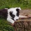【体験談】猫を襲うボーダーコリーの入ったミックス犬(雑種)にやったしつけ方法
