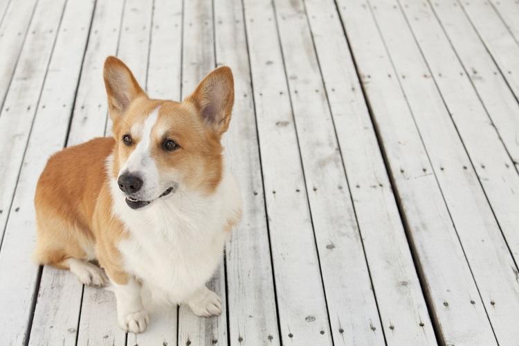 コーギー犬