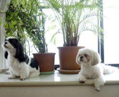 小型犬の子犬のシーズーがトイレトレーニングで成功したしつけ方法