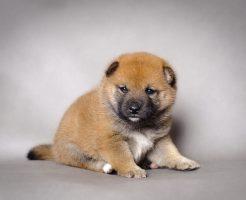 生後4ヶ月の柴犬の噛み癖が酷くてネットで調べたしつけ方法を実践