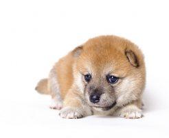 柴犬のトイレトレーニングで成功した犬の性質を利用したしつけ方法