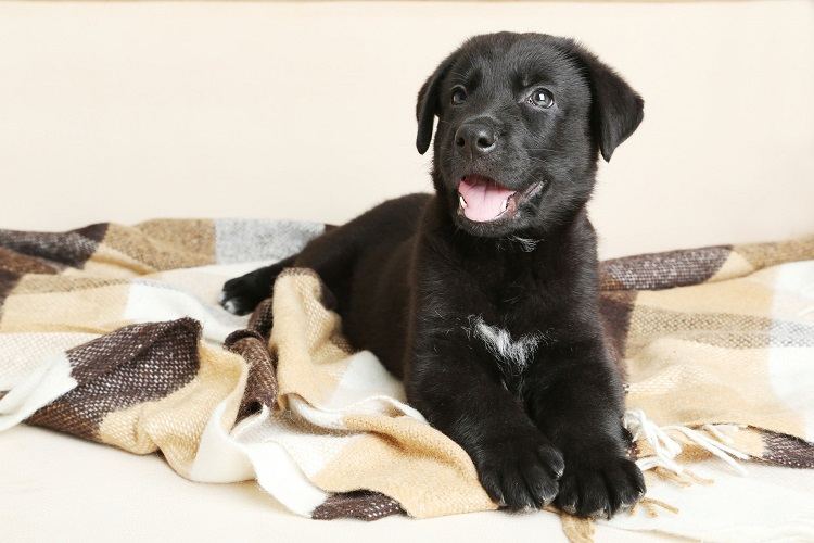 室内犬の黒ラブラドールレトリバーのトイレトレーニングと待てのしつけ方